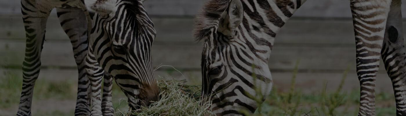 Plan-trip-zebra