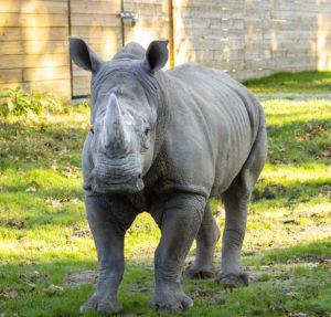 southern white rhino masamba