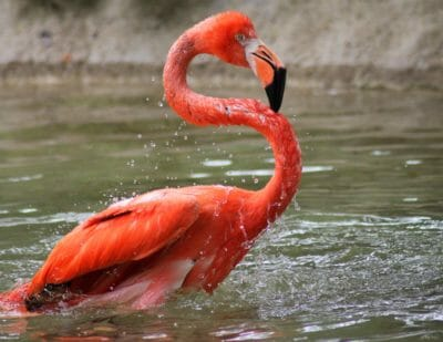 american flamingo in water