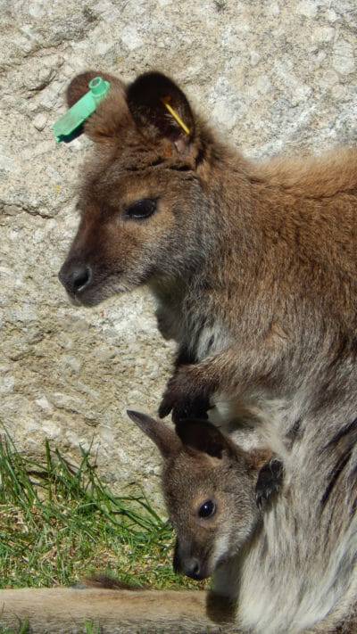 Bennetts Wallaby with her baby