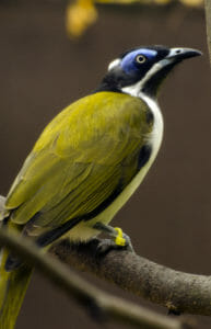 blue-faced hoenyeater