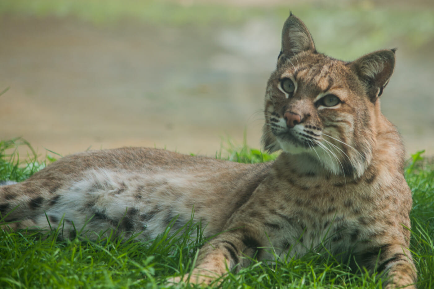 Bobcat in grass