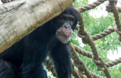 Chimpanzee in exhibit