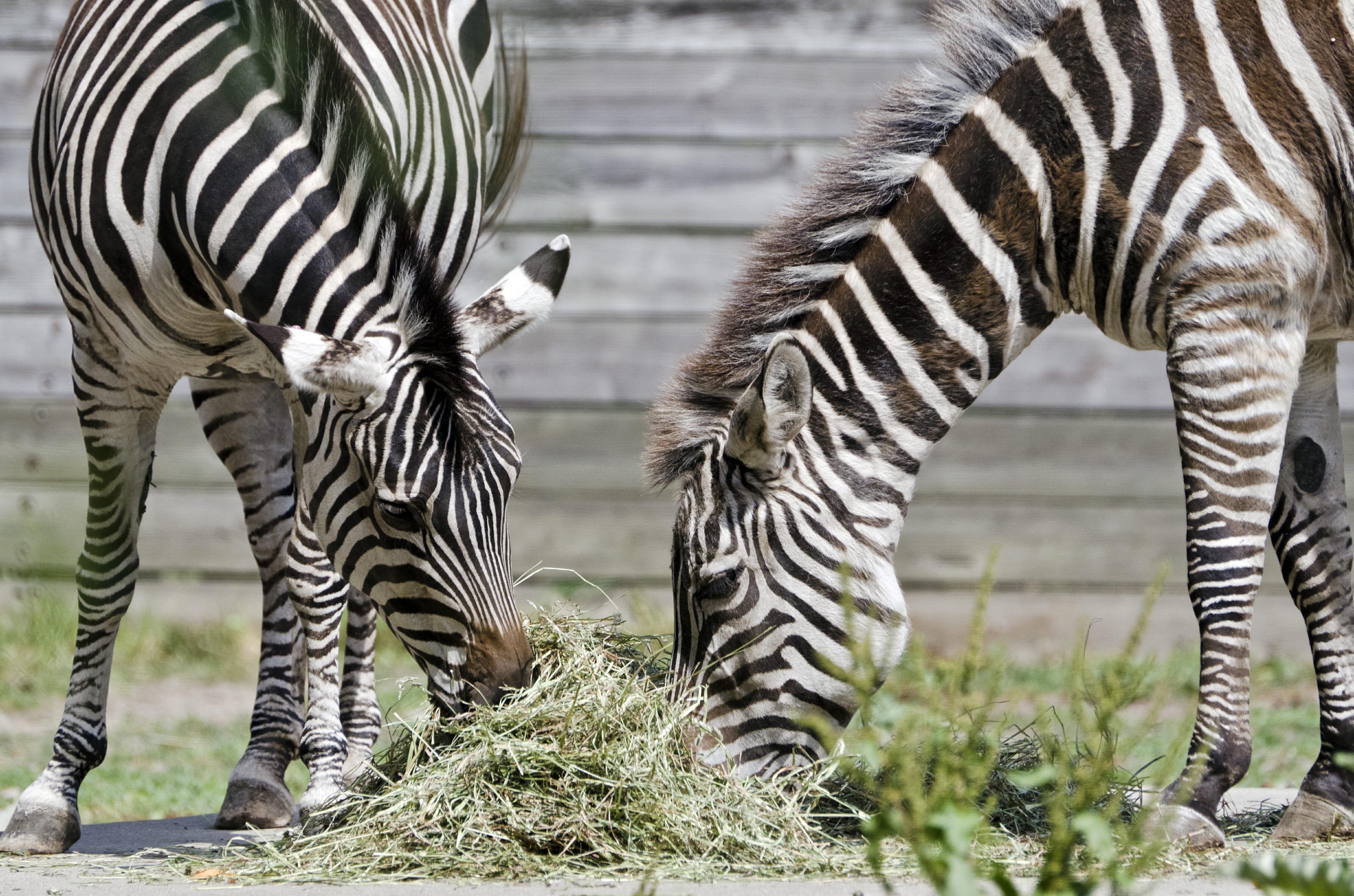 Grants Zebra