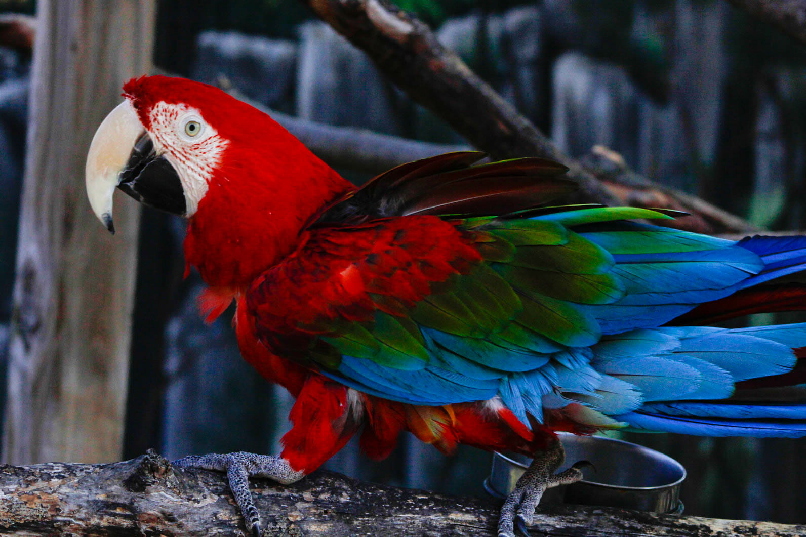 Green-winged-macaw