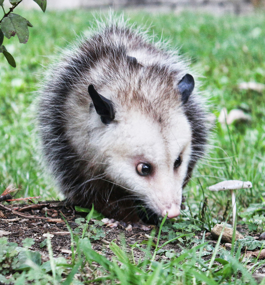 virginia opossum cr kelly kiefer