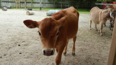 Miniature Jersey Cow