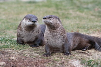 Northern American River Otter