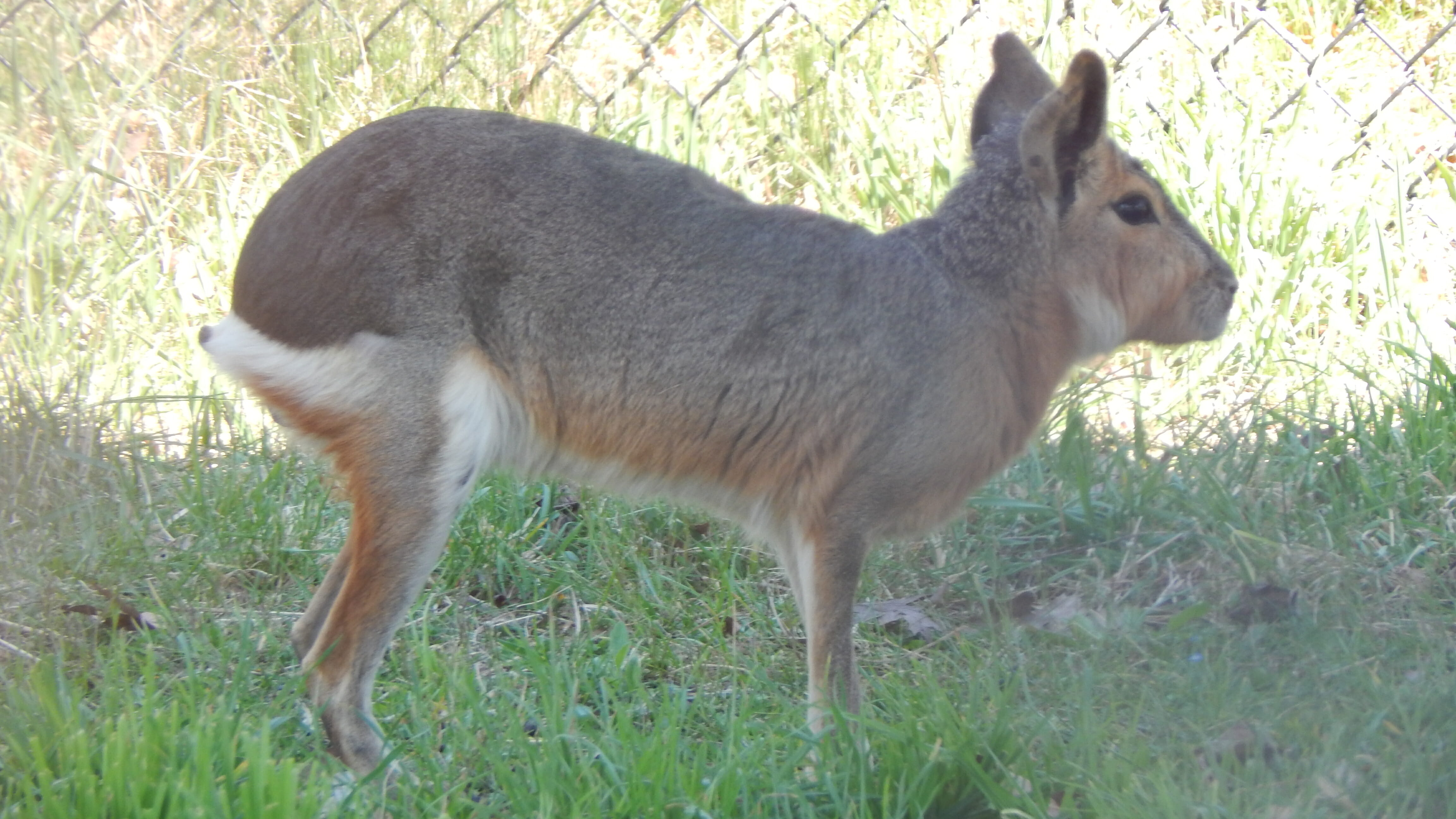 Patagonian Cavy