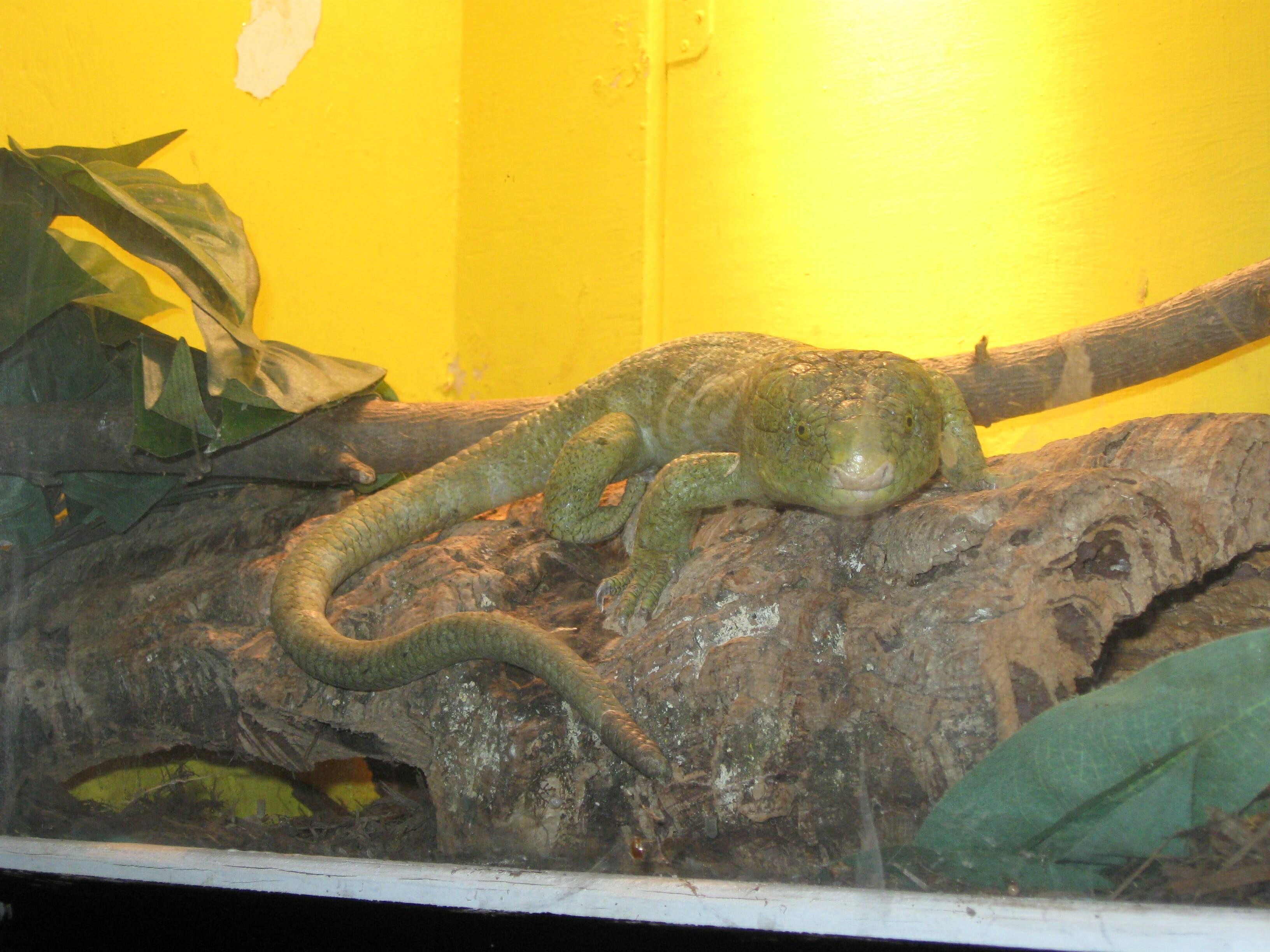 Prehensile-tailed skink