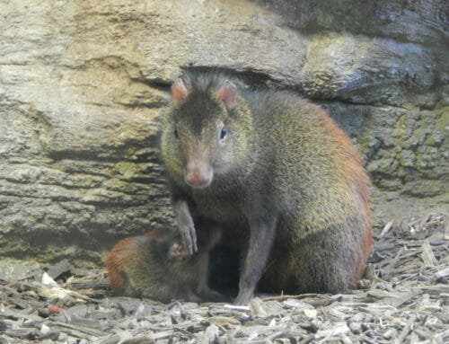 Red-Rumped Agouti
