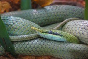 Rhinoceros Snake