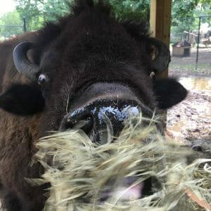 Bison web