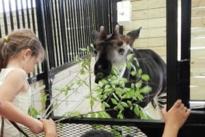 Okapi feeding