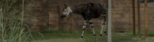 Okapi in exhibit
