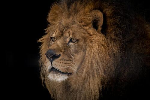 January 2019 Calendar Lion