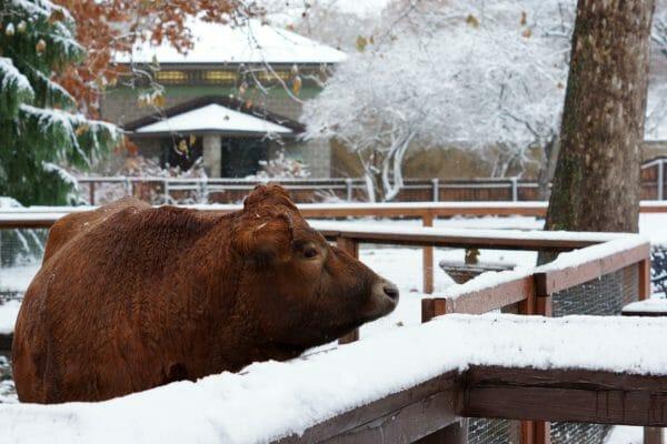 Jersey Cow Sampson Winter 2