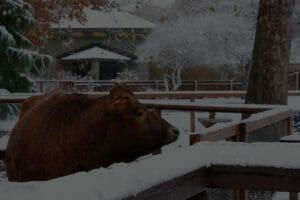 Jersey Cow Sampson Winter