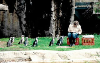 Penguins being fed
