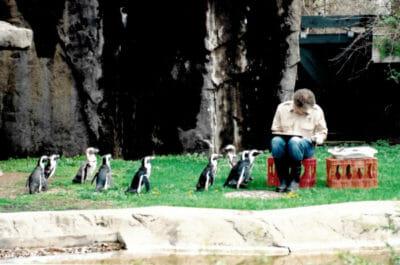 Penguins being fed