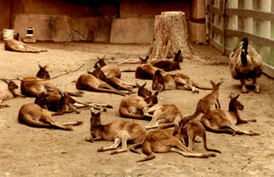 Group of Wallaby