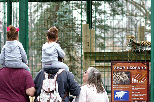 zoo visitors watching amur leopard