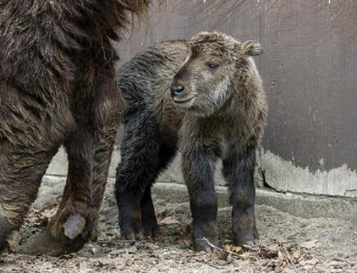 Baby Takin Born
