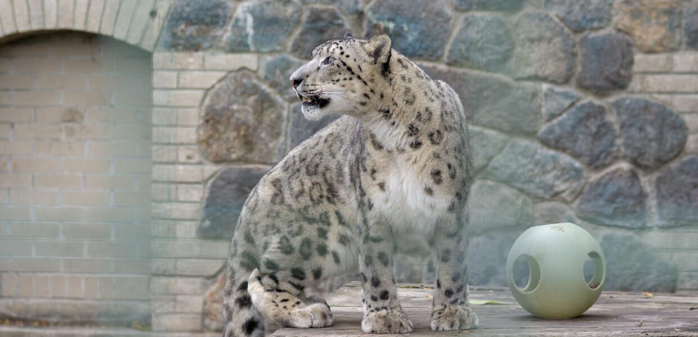 snow-leopard-dian-5