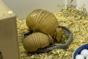three banded armadillo baby and mom