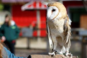 Barn Owl named Ms. Wigglesworth