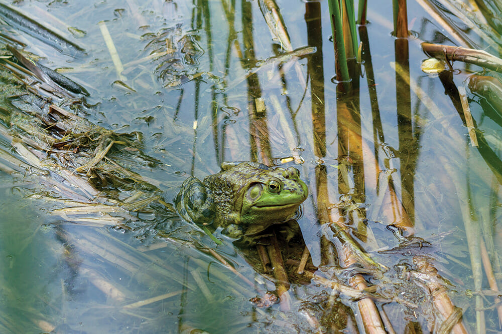 american bullfrog in the water