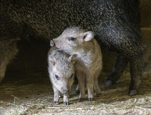 Endangered Chacoan Peccaries Born