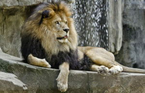 african lion tango laying with his tongue out