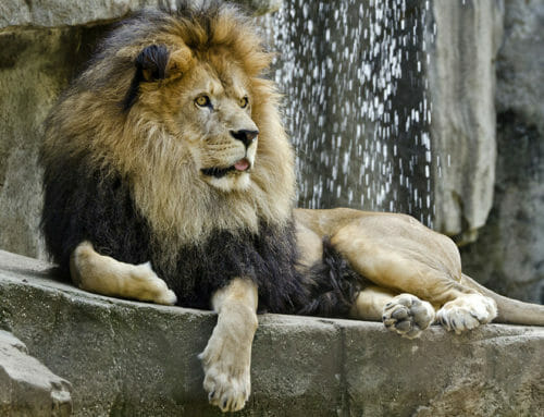 Zoo Mourns Death of African Lion Tango