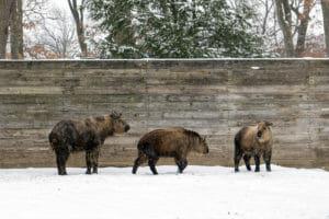 sichuan takin in the snow