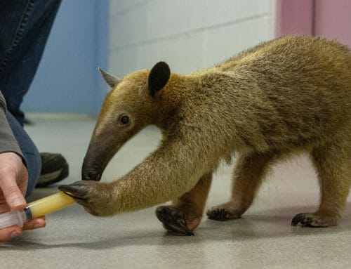 New Ambassador Animal: Tamandua