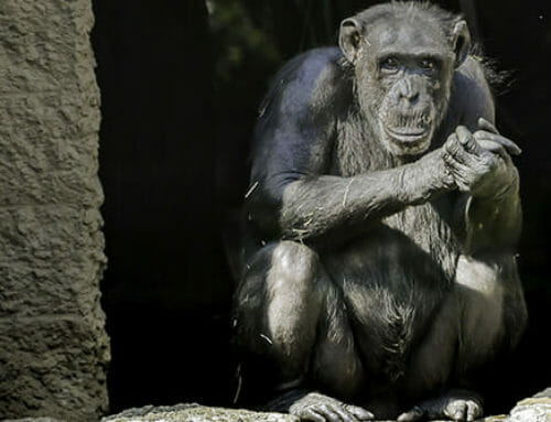 Chimps Move to New Zoo