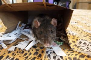 ambassador rat peeking out of a bag
