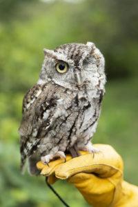 screech owl poot