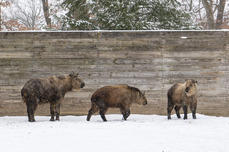 sichuan takin in the snow