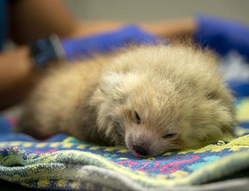 Red panda cubs born